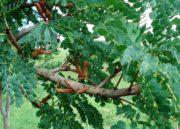 Barbatimão: Conheça todos os benefícios dessa planta para saúde!